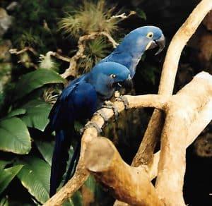 Hyacinthmacaw